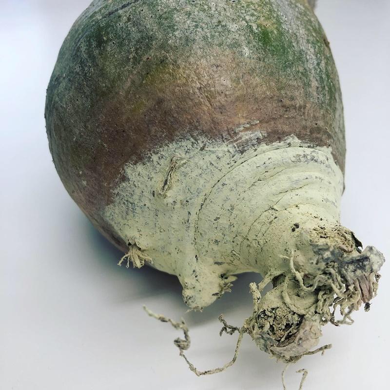 パキポディウムグラキリス 抜き苗