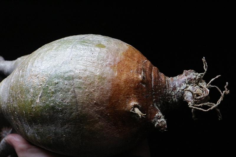 パキポディウムグラキリス