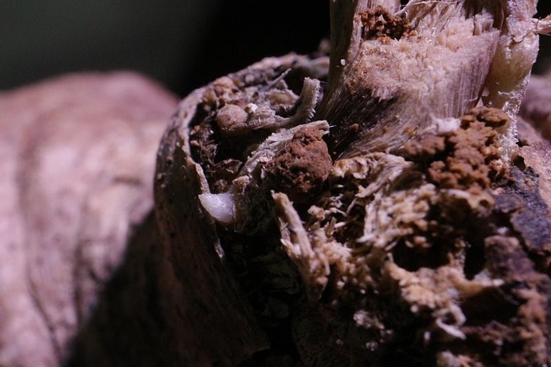 パキポディウムグラキリス発根