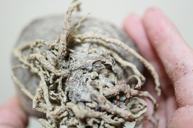 イノピナツムの根