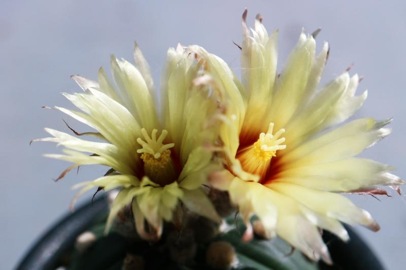 瑠璃兜の開花