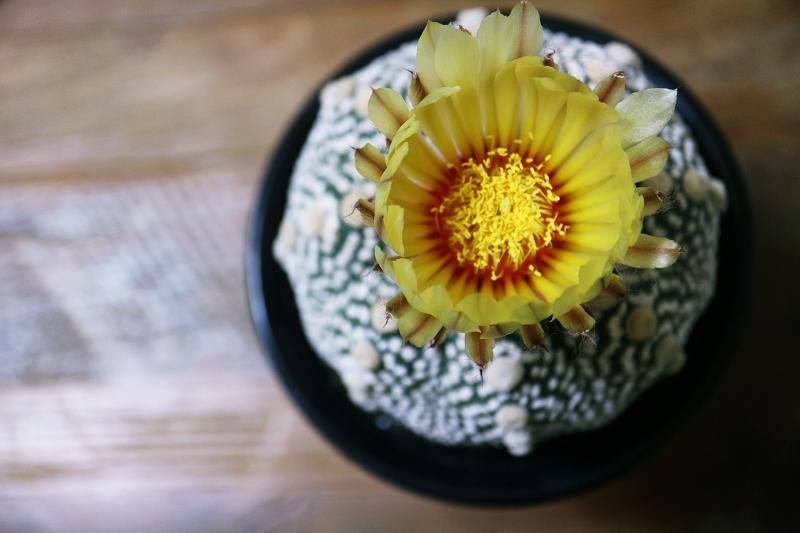 サボテン兜丸の開花