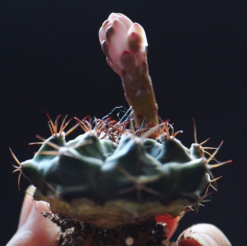 水切れで萎んたサボテン ギムノカリキウム牡丹玉