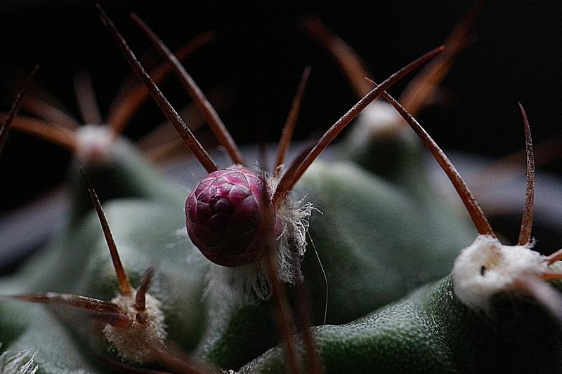 サボテン牡丹玉の花芽