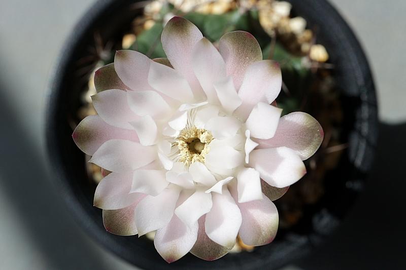 サボテンの花 ギムノカリキウム牡丹玉