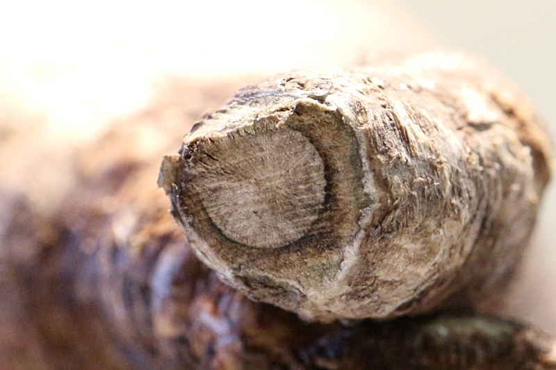 パキポディウムグラキリスの根を切る