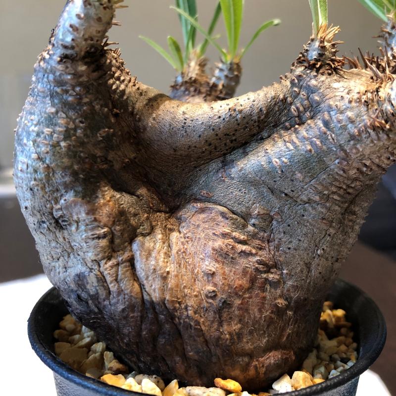 塊根植物パキポディウムイノピナツム 水切れでへこむ