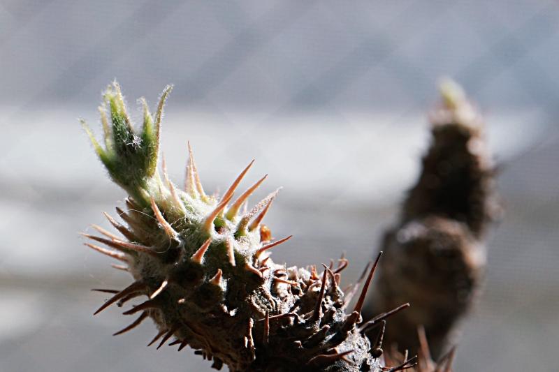 パキポディウムグラキリスの花芽・蕾