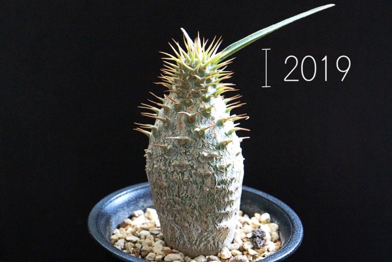 種から育てたパキポディウムグラキリス