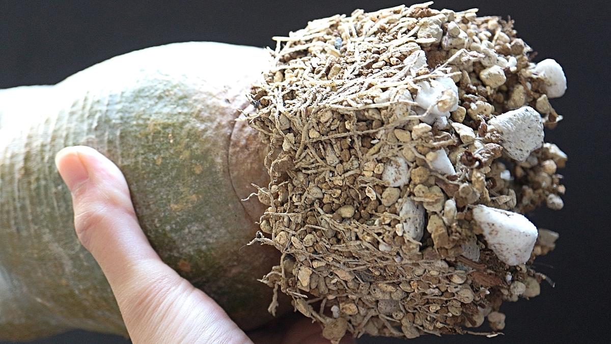 パキポディウムグラキリスの発根