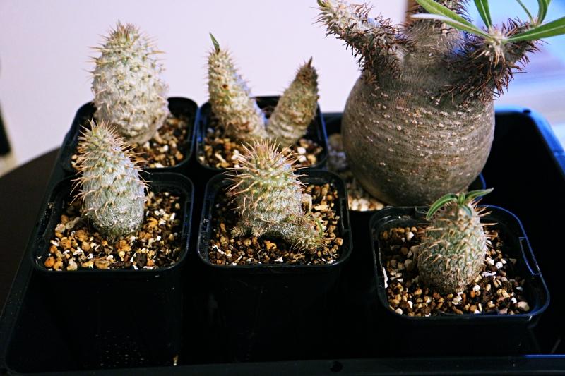 パキポディウムグラキリス植え替え