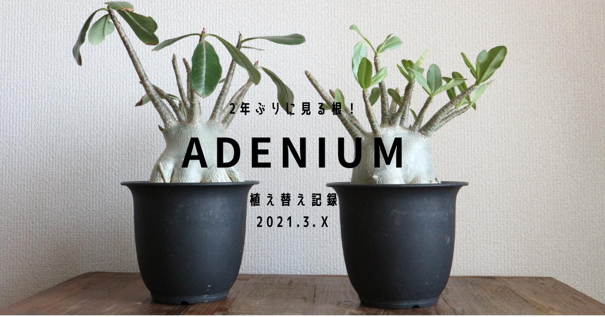 アデニウム植え替え