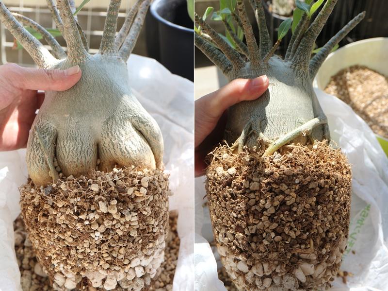 アデニウム・アラビカムの根鉢
