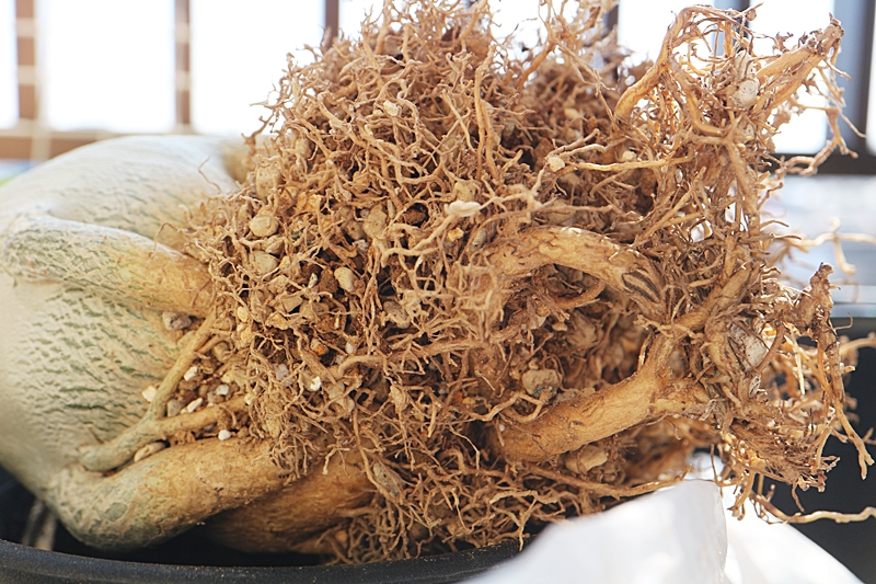 アデニウム・アラビカムの根