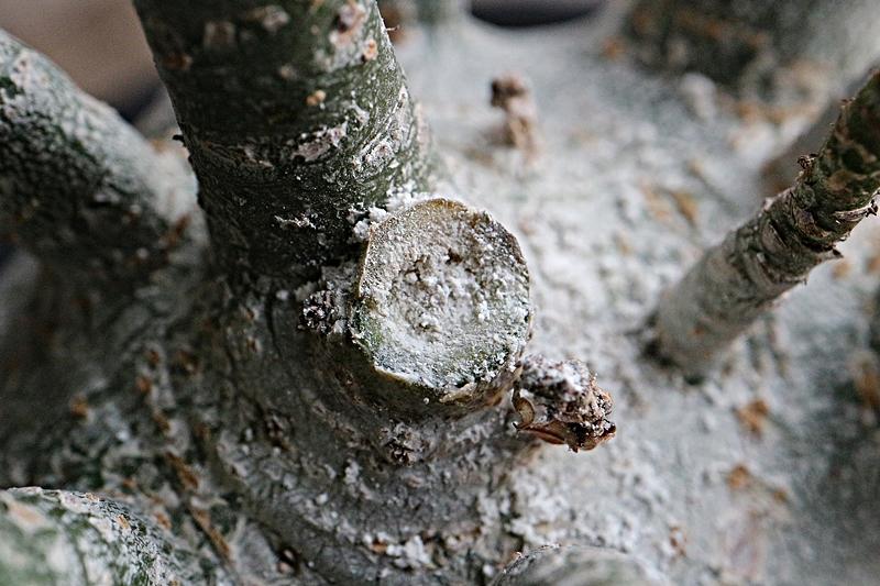 アデニウムの枝を切った後の処理