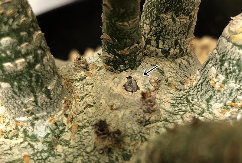 アデニウムの枝切り痕