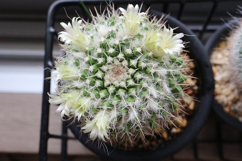 サボテン白蛇丸 花