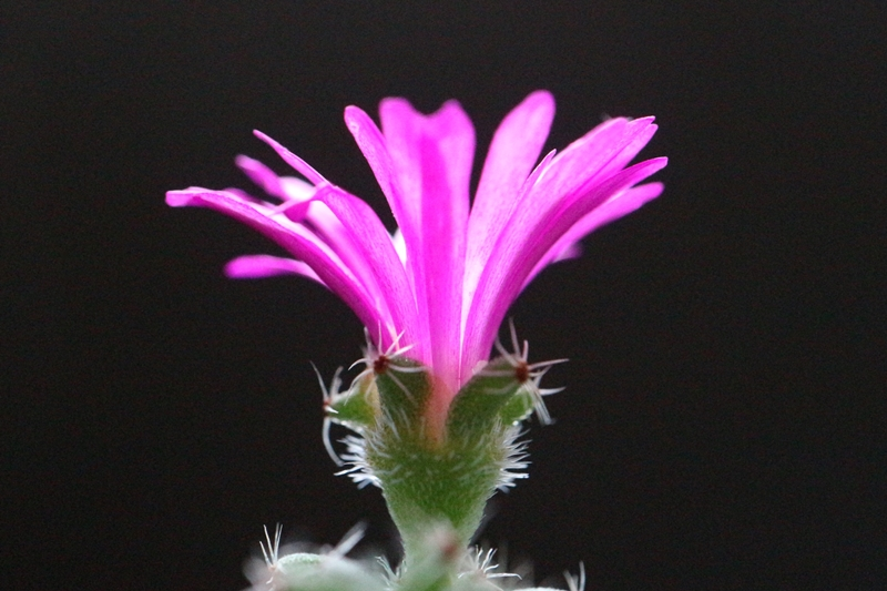 姫紅小松の花