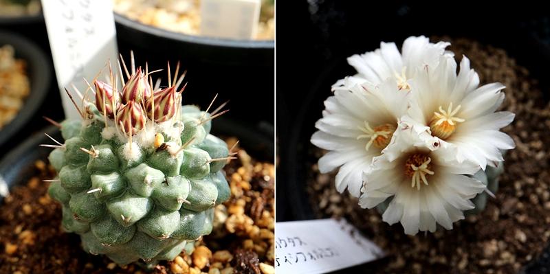 サボテン菊水 蕾と開花