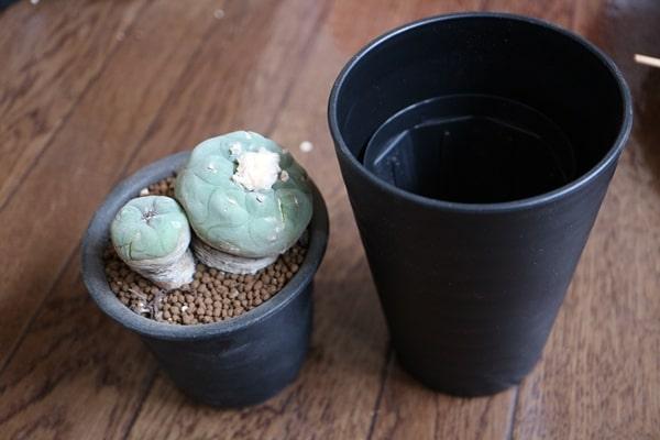ロフォフォラ翠冠玉の植え替え