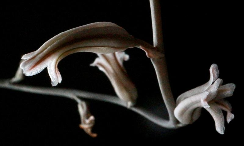 ハオルチア 玉扇の花