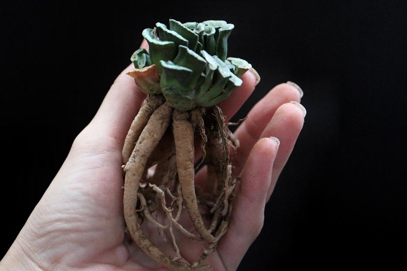 ハオルチア 玉扇の根
