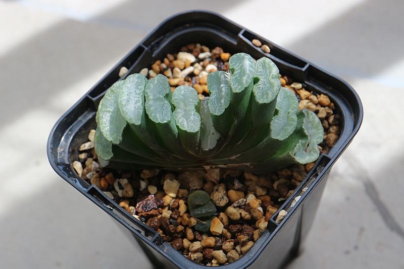 ハオルチア 玉扇