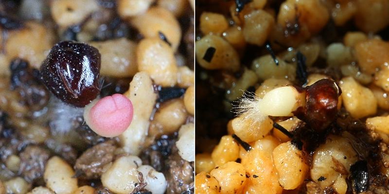 サボテン兜丸の実生 発芽