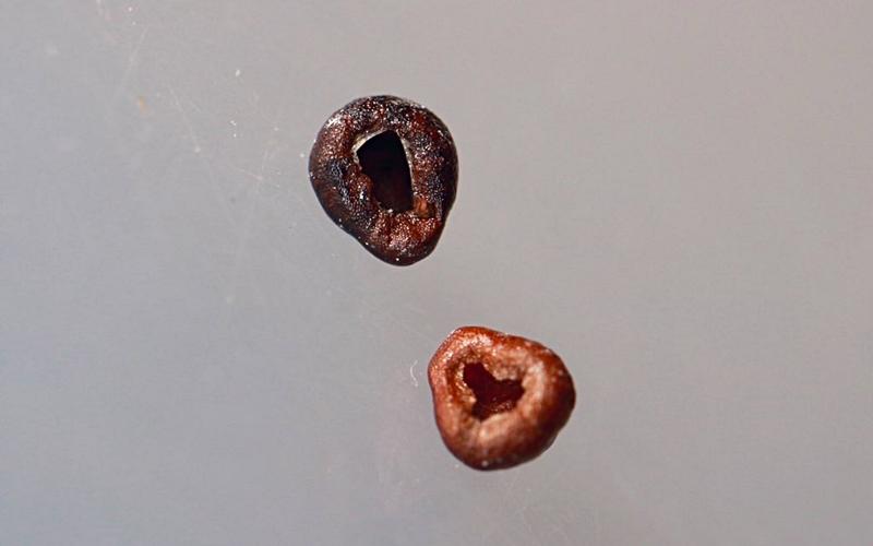 サボテン兜丸の種殻