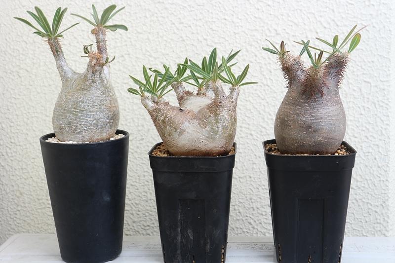 パキポディウム属 植え替えスリット鉢
