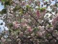 [090418桜の通り抜け]