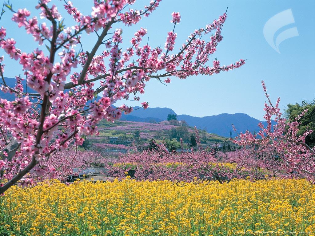 桃の木と菜の花