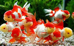 弥富市の金魚