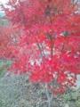 近所の紅葉 #1