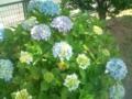 27.6.2012 アッピー鹿西 紫陽花