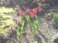 18.4.2012 自宅隣家の花壇 #1
