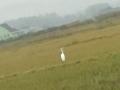26.11.2012 謎の白い鳥 #1