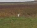 26.11.2012 謎の白い鳥 #2
