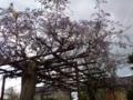 咲きかけの藤花 in 七尾市本府中町