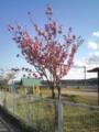 3.5.2013 八重桜