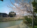 13.4.2013 二宮川の桜 #1