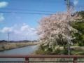 13.4.2013 二宮川の桜 #3