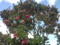 21.3.2013 公園に咲く椿