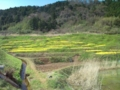 15.4.2013 菜の花畑 #1