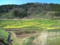 15.4.2013 菜の花畑 #2