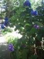 8.7.2013 山の寺寺院群の紫陽花 #4