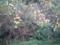 4.11.2013 実家の花梨っぽい木 #1