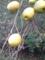 4.11.2013 実家の花梨っぽい木 #2