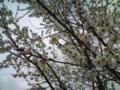 29.3.2013 梅花 #3