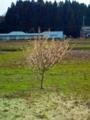 1.4.2013 小さな桜の木